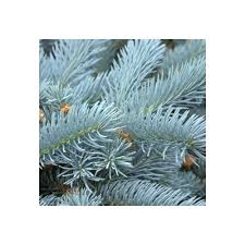 picea pungens edith blue spruce trees for sale