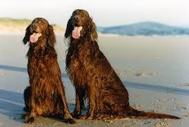 belgian shepherd 101 irish setter all big dog breeds