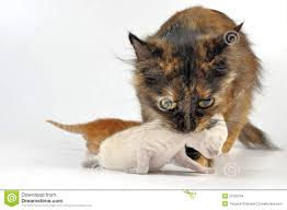 mother cat carrying newborn kitten stock images image 21033704