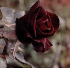 Achat Rosier Grimpant by Les Jardins De Provence