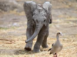 uk bans ivory trade to help end horrendous elephant poaching elephant reviews read customer