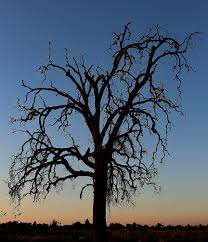 file dead oak tree hanford california panoramio jpg wikimedia