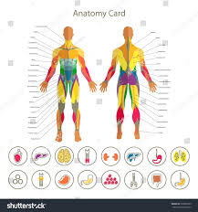 Male Internal Organs Anatomy Anatomy Male Muscular System Front Rear Stock Vector 396889105
