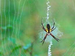merak putih gambar laba laba tercantik daily top news