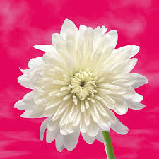 white flower flower white background free photo on pixabay