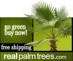 tropical palm trees buy palm trees beautiful and