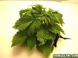 Recovering Cannabis Plants From High by Cannabis Plant And Pest Problem Solver Pictorial