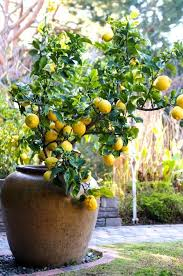 Good Backyard Trees by Best 25 Lemon Tree Potted Ideas Only On Pinterest Lemon Tree