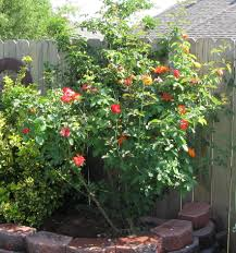 pinata climbing rose plants encyclopedia