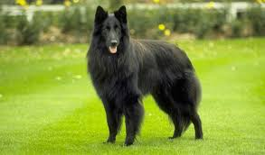 belgian shepherd nz belgian sheepdog dog breed standards