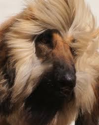 afghan hound 9 months ch juwain simply outrageous imp nz lijolba afghan hounds