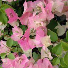 caring for bougainvillea plants tips on growing bougainvillea in