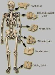 Human Figure Anatomy Here Are Some Types Of Joints And How They Differ In The Body