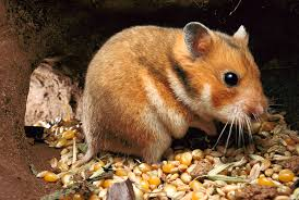 your hamster may have surprising origins u2013 national geographic
