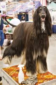 afghan hound teeth afghan hound dogs pinterest afghan hound and animal totems