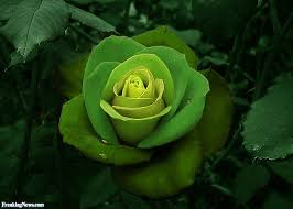 green roses roses pictures freaking news