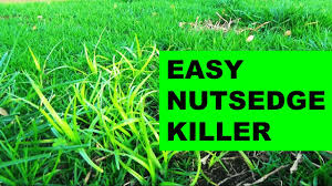 how to get rid of nutsedge in the lawn the easy way youtube