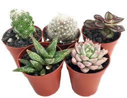 amazon com cacti u0026 succulents patio lawn u0026 garden