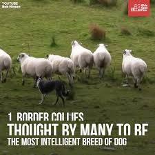 australian shepherd youtube herding herding dogs five of the best breeds to help on the farm