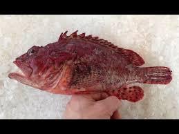 comment cuisiner la rascasse rascasse bretonne chapon scorpion fish rascacio