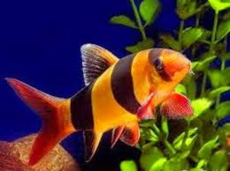 the freshwater tropical fish care for the clown loach freshwater
