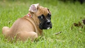 boxer dog kidney problems dog incontinence dealing with leaking pipes
