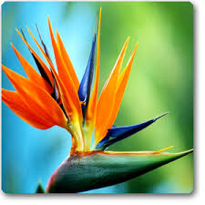bird of paradise flower buy bird of paradise plant online at nursery live best plants