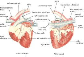 Sheep Heart Anatomy Quiz Overview Of Cardiovascular System Circulatory System Merck