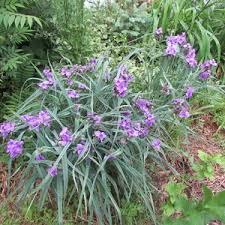Identify Flowers - please identify these purple flowers ask an expert