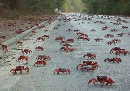 crazy ants annihilate crabs with chemical warfare