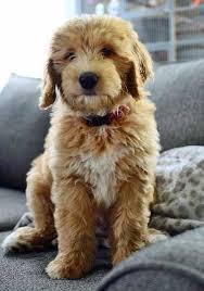 beagle x australian shepherd best 10 poodle mix ideas on pinterest poodle mix puppies toy