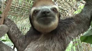 Funny Sloths Memes - sloths video gallery know your meme