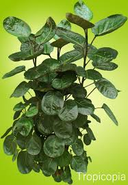 how to grow care for balfour aralia houseplant 411 how to