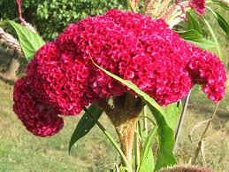 cockscomb flower 100 cockscombs flower seeds 1024