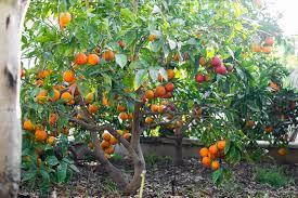 blood orange tree hello hello plants garden supplies