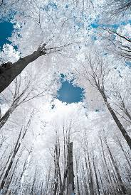 cool trees trees are white sky is blue the meta picture