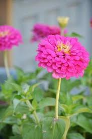 beautiful flower for garden flowers pinterest garden ideas