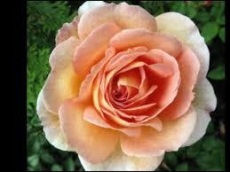 roses china 2009 enya china