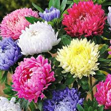chinese aster seeds callistephus give you a garden full of bright