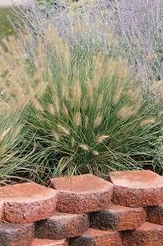 338 best grasses images on pinterest ornamental grasses plants