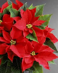 christmas plant not just for christmas keep your poinsettias hot into 2012