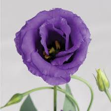 lisianthus flower echo blue pelleted f1 lisianthus seed johnny s selected seeds