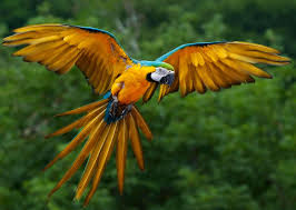 Amazon Rainforest Birds The Endangered Blue And Yellow Macaws