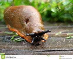 Types Of Garden Slugs Macro Of A Slug Stock Photo Image Of Feelers Green Undulate