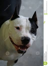 american stanford terrier y american pitbull terrier american pitbull terrier dog royalty free stock photo image 1625995