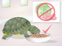how to apply medication to a turtle u0027s eyes 10 steps