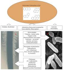 bioremediation of polyaromatic hydrocarbons pahs using