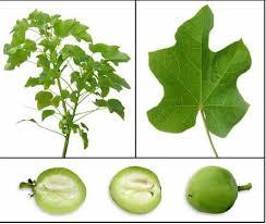 jatropha curcas seeds tree biodiesel fuel zhong wei