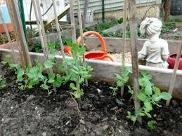 sugar snap peas growing transplanting preserving veggie