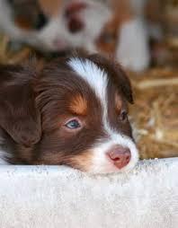 rockin b miniature australian shepherd australian shepherd u2013 smart working dog beautiful dogs best dog